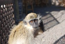 Free Monkey - Cape Verde - Africa Royalty Free Stock Photography - 8171167