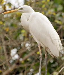 Free White Heron Royalty Free Stock Image - 8174516