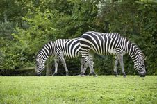 Free Two Zebras Grazing With Backs To Each Other Royalty Free Stock Images - 8174569