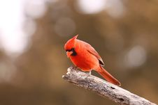 Free Male Cardinal Stock Images - 8174684
