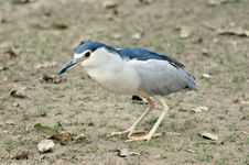 Free Black Crowned Heron Stock Photos - 8174703