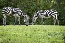 Free Two Zebras Grazing Facing Each Other Royalty Free Stock Images - 8174889