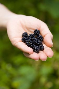 Free Blackberries Stock Images - 8176274