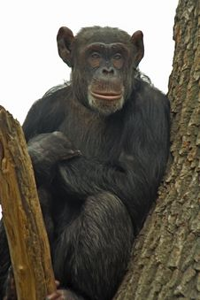 Free Chimpanzee Royalty Free Stock Image - 8177376