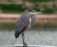 Free Heron Stock Image - 8177971