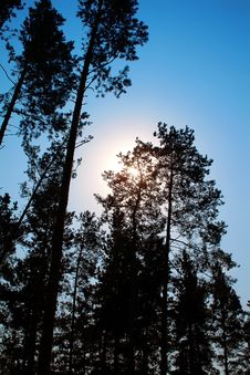 Free Sun Between Pines Royalty Free Stock Photography - 8178017