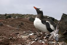 Free Gentoo Penguin Stock Photos - 8178283