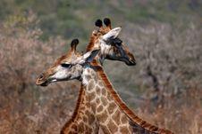 Free Giraffes Royalty Free Stock Image - 8178316