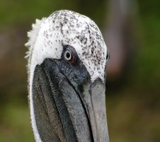 Brown Pelican Royalty Free Stock Images
