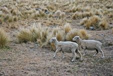 Free Two Sheeps Wandering Uphill Royalty Free Stock Image - 8179856