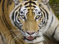 Free Tiger Looking Back At You Royalty Free Stock Images - 8183619