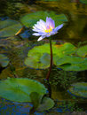 Free Purple Waterlily Royalty Free Stock Photography - 8184197
