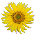 Free Single Sunflower. Including Clipping Path. Stock Image - 8186341