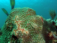 Green Star Coral Royalty Free Stock Photography