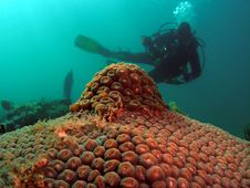 Free Star Coral With Diver Royalty Free Stock Photo - 8180695