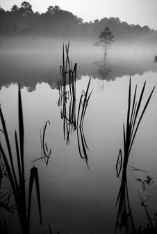 Free Cattails In The Shallows2 Stock Images - 8181274
