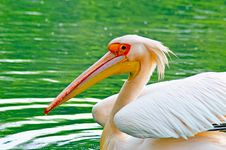 Free Pelican Royalty Free Stock Photos - 8181798