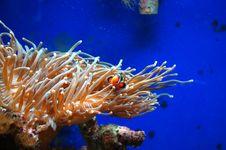 Free Clown Fish Stock Photos - 8181823
