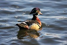 Free Wood Duck Male On Blue Water Royalty Free Stock Photography - 8181907