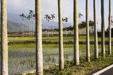 Free Palm Trees And Rice Fields Stock Image - 8182941