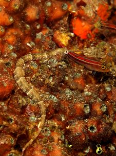 Free Orange-spotted Pipefish Stock Photo - 8184700