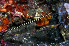 Free Ringed Pipefish Royalty Free Stock Photo - 8184815
