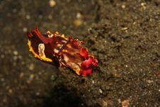 Free Flamboyant Cuttlefish Stock Photography - 8184892