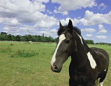 Free Pied Horse Royalty Free Stock Photography - 8184927