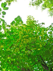 Free Green Linden Branches Stock Images - 8185774