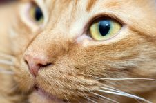 Free Portrait Of A Cat Stock Photos - 8187153