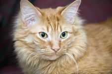 Free Portrait Of A Cat Royalty Free Stock Photos - 8187168