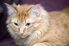 Free Portrait Of A Cat Royalty Free Stock Photo - 8187185