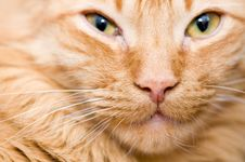 Free Portrait Of A Cat Stock Photography - 8187212