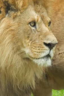 Free Lion Royalty Free Stock Images - 8188949