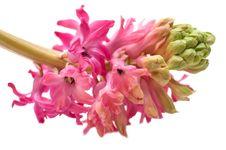 Free Hyacinth Stock Photo - 8189480