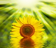 Free Sunflowers Stock Photography - 8189502