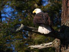Free Bald Eagle Stock Photos - 8189973