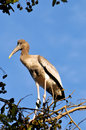 Free Painted Stork Royalty Free Stock Photography - 8190517