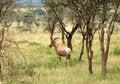 Free Topi - African Antelope Royalty Free Stock Photo - 8193075