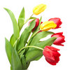 Free Red And Yellow Tulips Stock Photography - 8199942