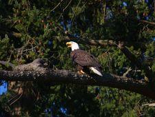 Free Bald Eagle Stock Photos - 8190013