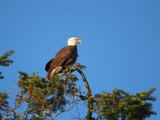 Free Bald Eagle Stock Photography - 8190032