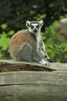 Free Lemur Stock Photo - 8190140