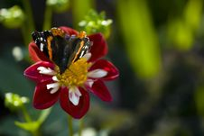 Free Butterfly On The Red Aster Royalty Free Stock Image - 8190146