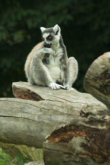 Free Lemur Stock Images - 8190194