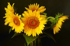 Free Sunflower In Vase Royalty Free Stock Photos - 8190938