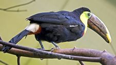 Free Toucan 3 Royalty Free Stock Photography - 8191507