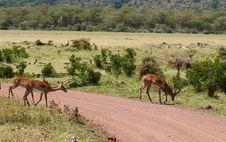 Free Impala - African Antelope Stock Photography - 8192442
