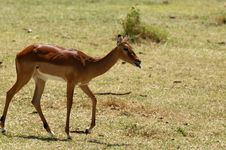 Free Impala - African Antelope Royalty Free Stock Photos - 8192498