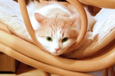 Free Green Eye Cat Royalty Free Stock Images - 8192709